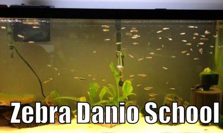 Zebra Danio & Black Neon Tetra Aquarium