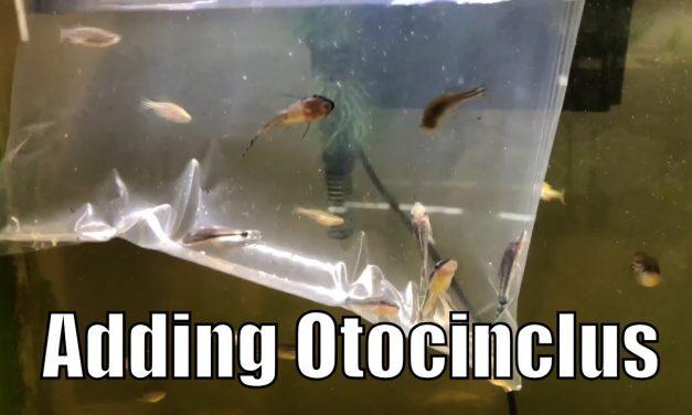 Adding 10 Otocinclus Fish To My Aquarium