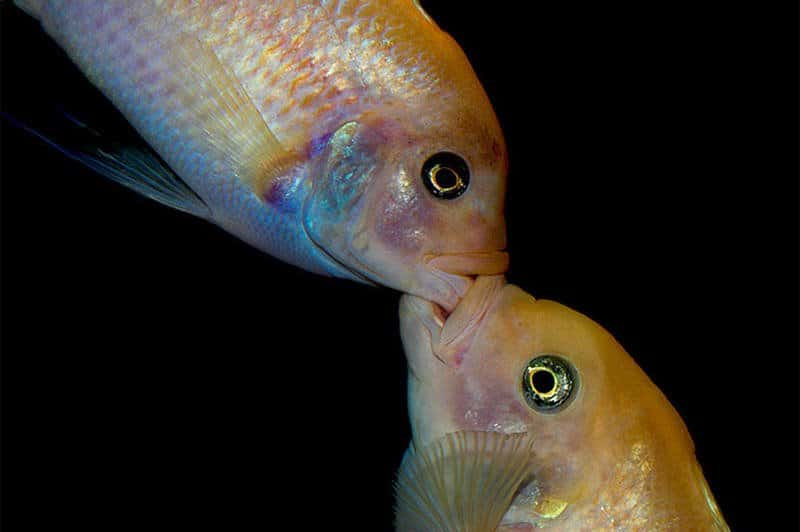 Understanding Fish Aggression