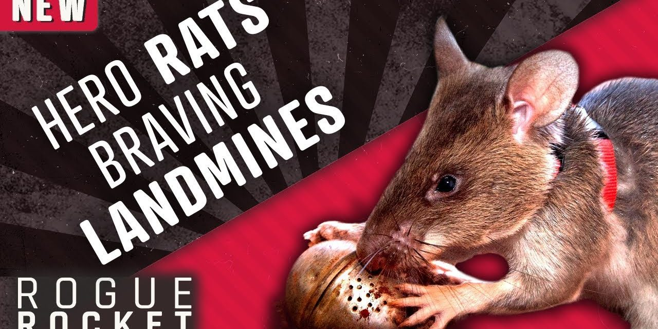 How Giant African Rats Are Sniffing Out Landmines and Saving Lives
