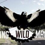 Training Australia's Dangerous Magpies