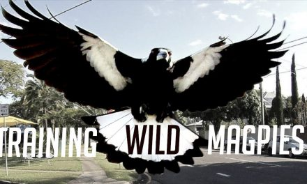 Training Australia's Dangerous Magpies