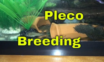 How To Breed Bristlenose Plecos Easily
