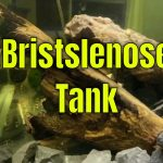 My Mini Bristlenose Pleco Tank Update & I want your questions!