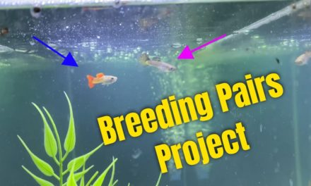 Super Exciting Guppy Breeding Pairs Project!!!