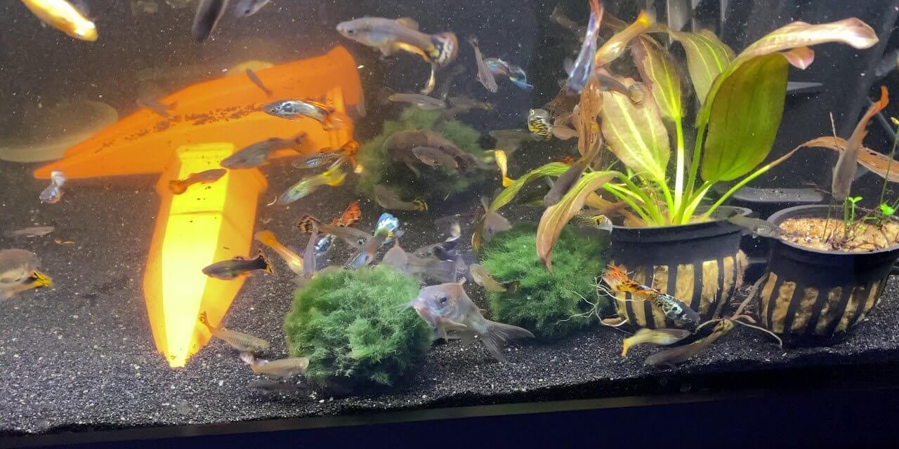 Aquarium Fish Go Crazy After Adding Moss Balls