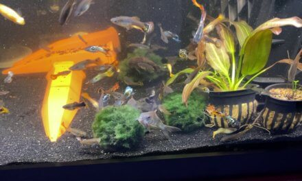 Aquarium Fish Go Crazy After Adding Moss Balls